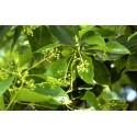 Aceite esencial Ravintsara puro 100%