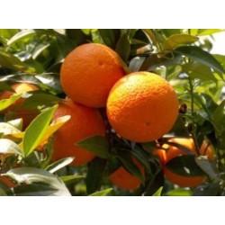 Aceite esencial Naranja Dulce