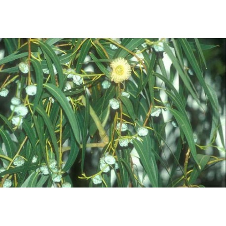 Aceite esencial Eucaliptus