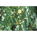 Aceite esencial Eucaliptus Bio puro100%