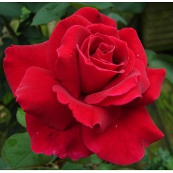 Ambientador concentrado aroma de rosa